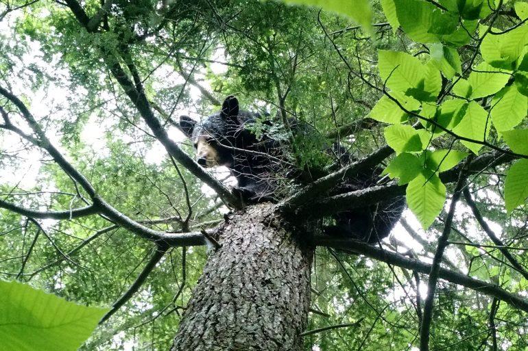 Maine black bear in tree